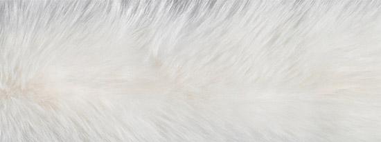 Белая енотовидная собака (Nyctereutes procyonoides)