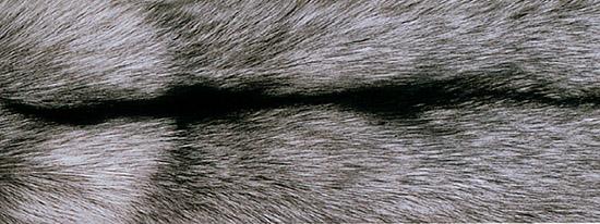 Серебряная лиса, чернобурка (Vulpes vulpes)