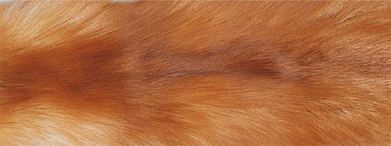 Пылающая лиса (Vulpes vulpes)